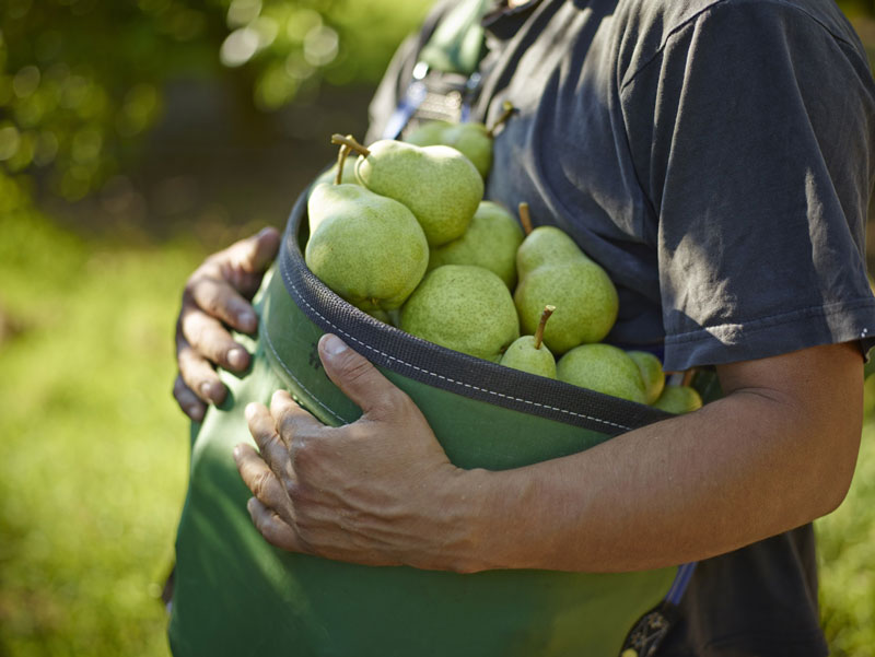 Pear Harvest Bucket